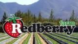Redberry Farm: Redberry Farm George
